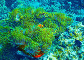 Coral reef underwater background — Stock Photo