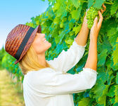 Woman pluck grape — Foto Stock