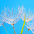 Abstract dandelion flower background — Stock Photo #5991713