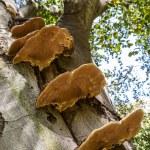 Parasitic fungi on a tree trunk — Stock Photo #13394060