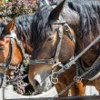 Two horses in harness — Stock Photo #26332327