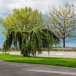 Trees adorn the promenade in Vevey — Stock Photo
