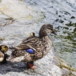 Duck with a brood of ducklings — Stock Photo