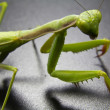 Closeup of a green mantis — Stock Photo