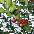 The natural holly tree — Stock Photo