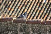 Palomas caminando en los techos de las casas viejos — Foto de Stock