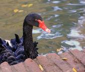 Beautiful Black Swan red beak — Stock Photo