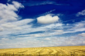 Cereal fields with a blue sky with white clouds — Stock Photo