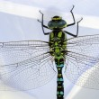 Quietly posing a dragonfly — Stock Photo
