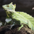 Crested lizard green dragon — Stock Photo