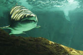 Huge bull shark swimming — Stock Photo