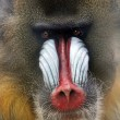 Stunning look of a baboon monkey — 图库照片