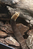 Terrifying rattlesnake coiled — Stock Photo