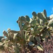 Old wild prickly pears with blue sky background — Stock Photo