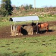 Stock Photo: Group of horses eating in covered feeder