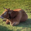 Enormous brown cow resting lying in boil it — Stock fotografie
