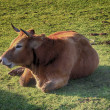 Enormous brown cow resting lying in boil it — Stockfoto