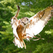 Stunning brown owl in flight — Stock Photo