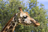 Close up of young giraffe — Stock Photo