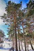 Tallskogar i bergen med massor av snö — Stockfoto