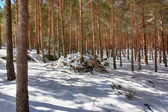 Pine forests in the mountains with lots of snow — Stock Photo