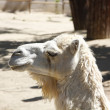 Stock Photo: Beautiful white camel