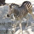 Pretty young zebra — Stock Photo