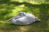 White Pelican in boil — Stock Photo