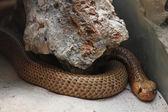 Snake brown — Zdjęcie stockowe
