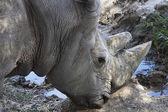 Great African rhino — Stock Photo