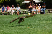 Owl skimming of the ground — Stock Photo