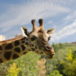 Giraffe sticking out his tongue — Stock Photo