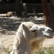 Beautiful white camel — Stock Photo
