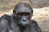 Close up of a gorilla — Stock Photo
