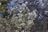 Beautiful ice pine branches above — Stock Photo