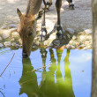 Female common deer reflected in drinking water — Stock Photo