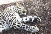 Close up of a leopard restin — Stock Photo