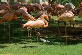 Flamingos on green background — Stock Photo