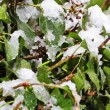 Snowing on garden ivy — Stock Photo #35285823
