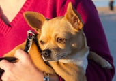Young chihuahua in the arms of a woman — Stockfoto