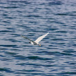 Pretty bird (Egretta garzetta) flying next to the water of the s — Stock Photo