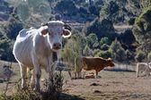 басков в поле с выпас телят — Стоковое фото