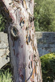 Tree trunk with bark flaky layers — Stock Photo