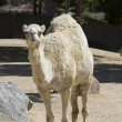 Beautiful white camel — Stock Photo #39151919