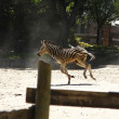 Young zebra running and jumping among giraffes — Stock Photo #39151931