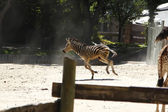 Young zebra running and jumping among giraffes — Stock Photo