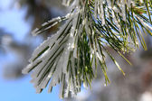 Beautiful ice pine branches above — Foto Stock