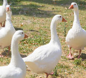 Family of geese walking around a park — Stock Photo