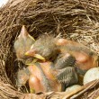 Stock Photo: Small Blackbirds just leave egg in nest