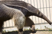 Walking anteater — Stock Photo